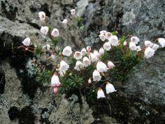 Phyllodoce nipponica