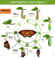 Buy Butterfly Life Cycle Infographics by macrovector on GraphicRiver. Butterfly life cycle infographics layout illustrated developing stage of monarch species from eggs to emerging vector. Kids Science Museum, Science For Kids, Science And Nature, Butterfly Pupa, Monarch Butterfly, Butterfly Kids, Butterfly Crafts, Butterfly Metamorphosis, Butterfly Life Cycle