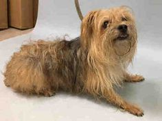 LYLA - A1104653 fem tan Cairn terrier mix 8yrs stray URGENT Manhattan s dog is one of many animals in the NYC Animal Care Center and he/she became at risk the moment they entered the doors. Fosters/adopters save lives and this dog will soon be out of time! Do not wait for this animal to appear on the At Risk List! Start sharing and advocating now. If you are interested in fostering or adopting, message the Urgent help desk at helpdogs@Urgentpodr.org and they will help answer any questions…