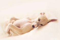whippet puppy | photo by britt woodall