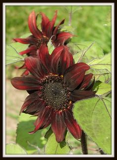 Red Hedge #Sunflower variety by Angie Ouellette-Tower for godsgrowinggarden.com