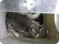 Philadelphia, PA - Domestic Shorthair. Meet Pluto, a kitten for adoption. http://www.adoptapet.com/pet/18174893-philadelphia-pennsylvania-kitten