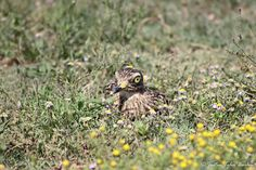 A Spotted Thick-Knee hiding in the grass.  { Photo by: Justin Tyler Barlow Photography } #Amakhala #AfricanSafari #SouthAfrica