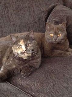 British Shorthair Cats ❤