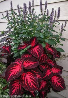 Easy To Grow Houseplants Clean the Air Coleus Ingswood Torch Coleus Need Very Bright Light For Leaves To Be This Colorful. Outdoor Plants, Outdoor Gardens, Backyard Plants, Outdoor Shade, Plants Indoor, Backyard Gazebo, Lawn And Garden, Garden Pots, Bonsai Garden