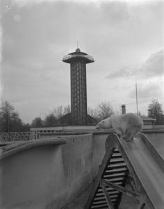 Uitkijktoren Diergaarde Blijdorp met op de voorgrond een ijsbeer, 1971 (geschat).