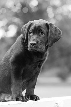 Labrador Puppy 1 by studiovaag.no, via Flickr