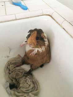 Traumatised pets pictured after their baths Where am I? A small guinea pig looks somewhat lost after being given a wash in the sink Baby Guinea Pigs, Guinea Pig Care, Guinea Pig Toys, Baby Pigs, Pet Pigs, Cute Funny Animals, Cute Baby Animals, Guniea Pig, Cute Piggies