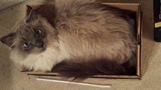 Cat in a box. Himalayan
