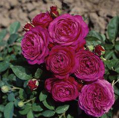 Heidi Klum® Rose | patio / Miniature roses. (Rosen Tantau 2006)