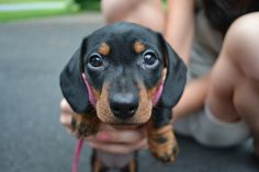 Cute cute wiener dog!  These little pups make me smile every time.