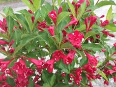 Weigela 'Red Prince' -Water regularly - weekly, or more often in extreme heat or containers.