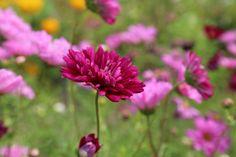 Early Spring Gardening Tips Gerbera, Prado, Summer Flowers, Red Flowers, Flora Flowers, Beautiful Flowers, Iphone 8 Plus, Iphone 10, Organic Gardening