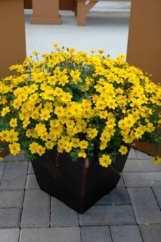 Bidens 'Yellow Sunshine'  - full sun, good trailing plant for spilling over container edges.