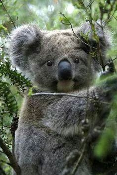 # Koala: I'm known as: 'A Bludger' by my Australian Keeper! (Amazing Wildlife - Koala photo ) The mention of a koala bear often conjures up an image of an adorable spoon-nosed creature cocking its head to one side while clinging to a tree. Cute Baby Animals, Animals And Pets, Funny Animals, Wild Animals, Amazing Animals, Animals Beautiful, Animals Tattoo, Koala Tattoo, Niedlicher Panda