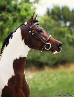 Fames Dakota, the Pintabian Stallion. Most Beautiful Animals, Beautiful Horses, Beautiful Creatures, Painted Horses, Majestic Horse, Majestic Animals, Cheval Pie, Animals And Pets, Cute Animals