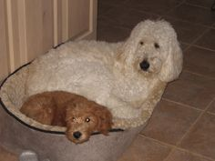 Bentley is the Uncle of our puppy Cooper and shared all his toys and bed with him.