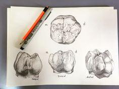 Teeth Drawing, Smile Drawing, Dental Design, Dental Art, Dental Assistant Jobs, Dental Hygiene, Dental Anatomy, Restorative Dentistry, Dental Technician