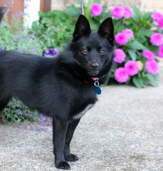 Though I'm a cat person, this is my kind of dog. Petfinder Adoptable Dog | Schipperke | Raymond, WA | Rosie