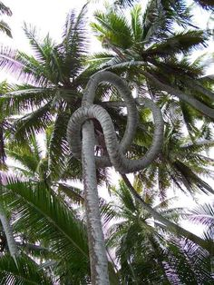 fantastically-shaped coconut palm