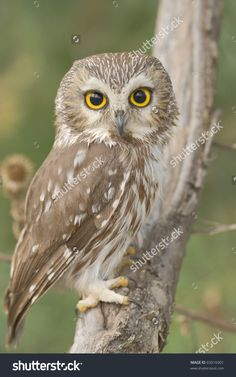 stock-photo--northern-saw-whet-owl-one-of-smallest-owls-perching-in-the-wild-made-with-shallow-depth-of-field-65016901.jpg 1,000×1,600 pixels