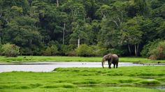 Africa's forest elephants have nowhere to hide. Even those living in isolated wilderness in Gabon, in Central Africa, are vulnerable to poachers, scientists