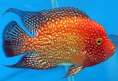 "The ""red texas"" cichlid."