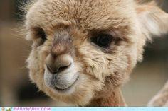 cute animals - Squee Spree: Puffball   whaaaaaaaaaat? Insane cuteness.