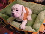 Needle Felted LS English Bulldog Puppy FINISHED by *CVDart1990 on deviantART