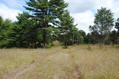 Native meadow before pines at the Willisbrook Land Preserve in se PA in Sept 2015