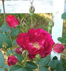 Adelaide Hoodless Canadian Parkland rose - zone 2, heavy repeat bloomer, 5 X 6 height/spread, tolerates dry periods once established