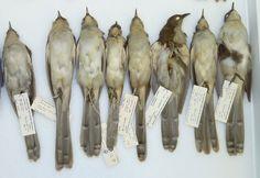 Black-billled-cuckoos.jpg (1311×903)