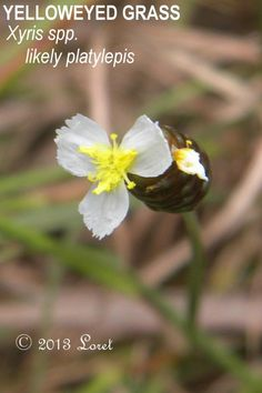 TALL YELLOWEYED GRASS (Xyris platylepis) | What Florida Native Plant Is Blooming Today?™ 1113