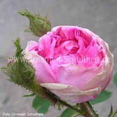 Rosa - Rosa_damascena - Historische_Rosen - Rosen – Rosen online kaufen im Rosenhof Schultheis