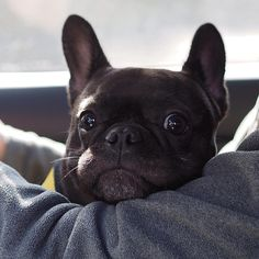 "5,300 Likes, 134 Comments - Theo (@hokus_theo) on Instagram: ""Oops! I farted in the car!!  やばっ! 車の中でオナラしちゃった‼︎  #frenchie #frenchbulldog #instadog…"""