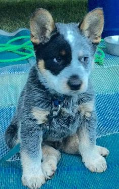Aussie Cattle Dog, Austrailian Cattle Dog, Cute Puppies, Cute Dogs, Dogs And Puppies, Gado, Reptiles, Accesorios Casual, Dog Rules