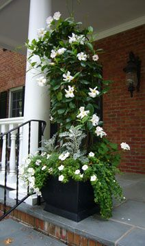 climbing madevilla and all whites for urn Crecent Garden designs