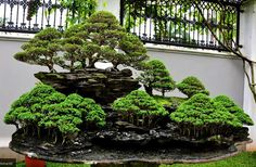 Houseplants for Better Sleep Bonsai Trees Images Pictures Bonsai Tree: Bonsai Mania Indoor Bonsai, Bonsai Plants, Bonsai Garden, Plantas Bonsai, Ikebana, Bonsai Forest, Bonsai Styles, Tree Images, Pictures Images