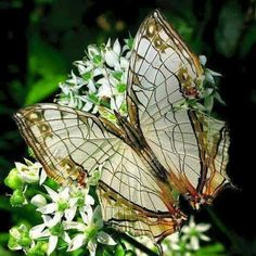 Cyrestis Nivea Butterfly