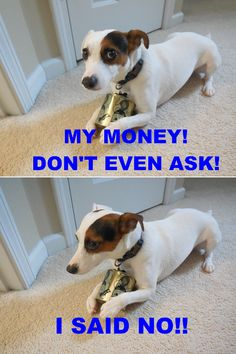 Qoo the Jack Russell and Piggy Bank Chien Jack Russel, Jack Russell Mix, Jack Russell Puppies, Jack Russell Terrier, Rat Terriers, Fox Terrier, Funny Dogs, Cute Dogs, Animal Humour