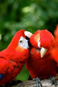 Las guacamayas son una especie monógama, esto quiere decir que sólo tienen una pareja durante toda su vida.
