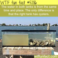Oyster water filtration - WTF fun facts