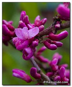 The month of April escorts the lovely redbud--Cercis chinensis 'Avondale'-- to center stage.