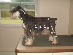 The best pictorial tutorial on how to give your schnauzer/mini schnauzer/schnoodle a hair cut. Saves me $40 - $50 every 2 months!