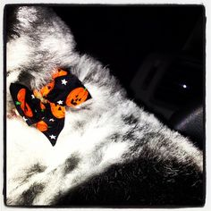 After the groomer #halloween bow on the puppy #365grateful  #photooftheday #dog - @ofmyheart- #webstagram