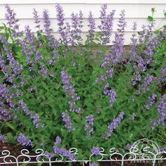 Nepeta × faassenii 'Kit Cat', 2016 Johnson's, in oak tree bed between the hydrangeas and behind the Russian cypress.