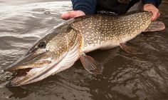 Pike Fishing: How to Catch Big Fish on Small Waters