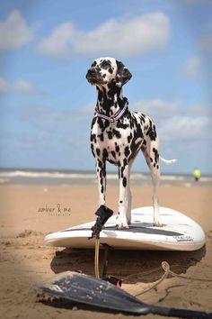 Amber&Me Dalmatiner Hund Dalmatian dieKuh Halsband Leine Suchtrupp Surfen Surfbrett Surfing Strand Beach travel Urlaub