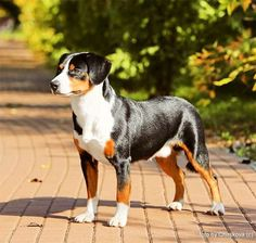 Entlebucher Mountain Dog Breed Picture - Tap the pin for the most adorable pawtastic fur baby apparel! You'll love the dog clothes and cat clothes! Rare Dogs, Rare Dog Breeds, Best Dog Breeds, Cat Breeds, Best Dogs, Dog Breeds Pictures, Funny Animal Pictures, Dog Pictures, Mountain Dog Breeds