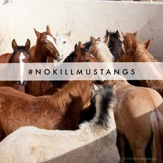 URGENT: Adopters and Boarding needed for Mustangs coming out of South Dakota #NoKILLMustangs